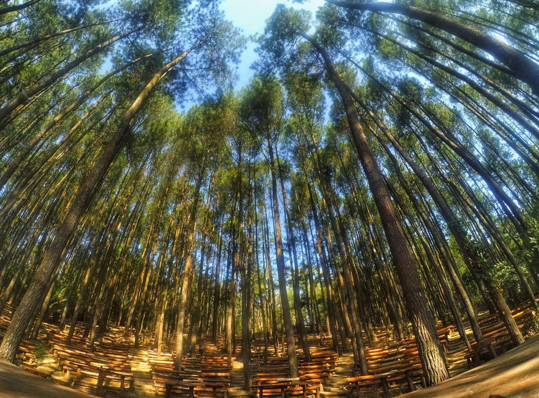 Hutan Pinus Mangunan Dlingo Semilir Angin Di Rimbunnya Pinus Merkusii